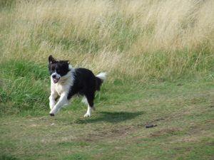 Border-Collie-Running